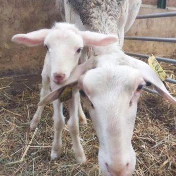 brebis-agneau-serrelis